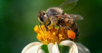 Closeup shot of a bee on a chamomile flower